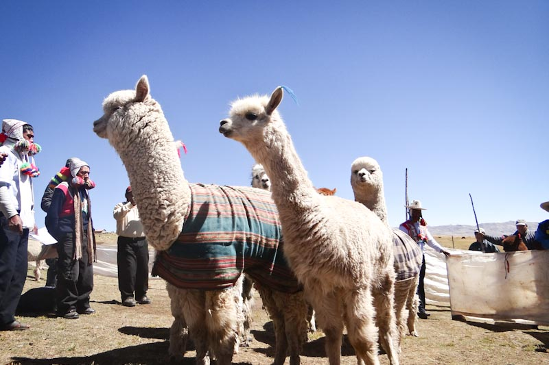 Alpacas: the cutest way to alleviate poverty in Peru. (Photo courtesy Heifer International)