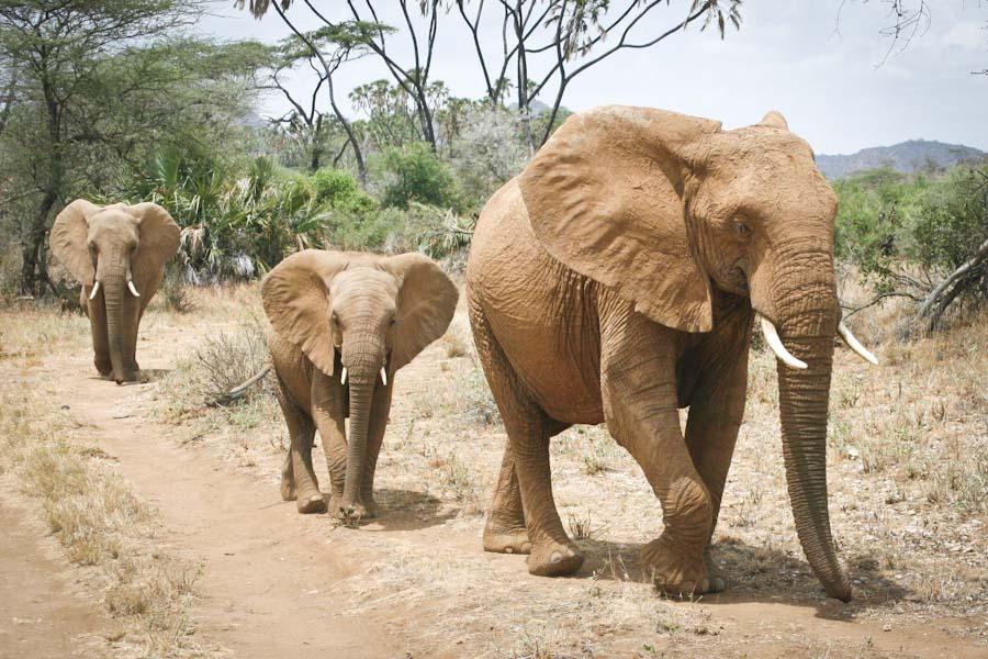 Protected African elephants at Samburu National Reserve in Kenya. (Photo by Alex Stonehill)