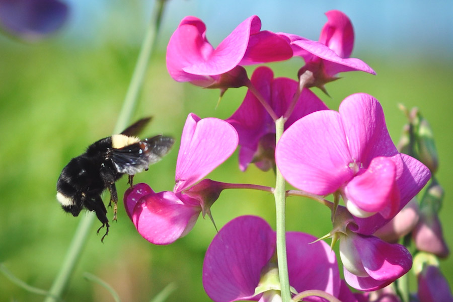 Bombus vosnesenskii the yellow-faced bumble bee, on a wild pea plant, photographed by Common Acre volunteers surveying native bee habitats at the Sea-Tac airport last summer. (Courtesy photo)