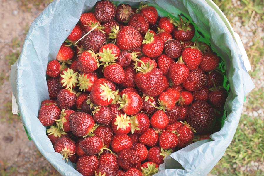Strawberries from a U-pick farm. (Photo from Flickr by Perry)